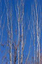 Tall, bare branches of a silver tree Royalty Free Stock Photos