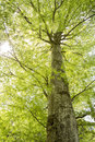 Tall beech tree in spring with moving foliage Royalty Free Stock Image