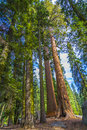 Tall and big sequoias in beautiful sequoia national park Royalty Free Stock Photo