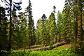 Tall and big sequoias in beautiful sequoia national park Royalty Free Stock Image