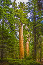 Tall and big sequoias in beautiful sequoia national park green Royalty Free Stock Image