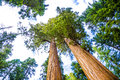 Tall and big sequoias in beautiful sequoia national park with old huge trees like redwoods landscape Royalty Free Stock Images