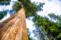 Tall and big sequoias in beautiful sequoia national park with old huge trees like redwoods landscape Royalty Free Stock Photography