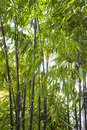 Tall Black Bamboo Growing Royalty Free Stock Photo