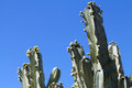 Tall Blooming Cactus