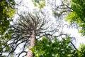 Tall branching tree Royalty Free Stock Photo