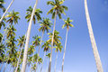 Tall Coconut Palm Trees Stock Photos