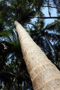 Tall Coconut Trees Royalty Free Stock Photography