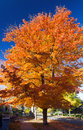 Tall colorful fall tree along city street leaves in denver colorado Royalty Free Stock Photos