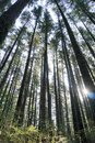Tall conifers Royalty Free Stock Photo