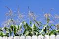 Tall Corn Royalty Free Stock Photos