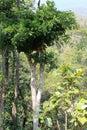 Tall distinctive tree Royalty Free Stock Photo