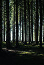 Tall fir forest light passing through high Stock Image