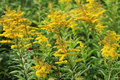 Tall goldenrod Royalty Free Stock Photo