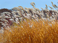 Tall Grass Royalty Free Stock Photo