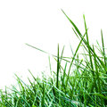 Tall grass against a white background Royalty Free Stock Photography