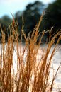 Tall grass brown on lakeshore Royalty Free Stock Image