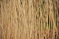 Tall grass close up of in nature environment Royalty Free Stock Images