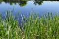 Tall grass on edge of pond a you can see trees reflected in the still water the Stock Photo