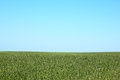 Tall grass field and blue sky green Royalty Free Stock Images
