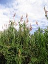 Tall grass with flowers this is a type of cane used by cuban farmers Stock Photo