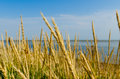 Tall grass on a sea shore Royalty Free Stock Photo