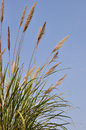 Tall grass which called chinese silver is a species of perennial in the poaceae family Royalty Free Stock Photography