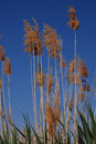 Tall grassy reeds growing in spain along a lakeside a bird reserve Stock Photos