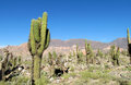 Tall green cactus valley in South America