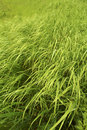 Tall green grass Royalty Free Stock Photo