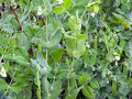 Tall green peas with pods growing on a garden bed in organic vegetable garden Royalty Free Stock Photo