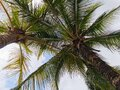 Healthy palm trees with clouds Royalty Free Stock Photo