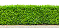 Tall hedge isolated Royalty Free Stock Photo