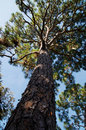 Tall majestic pine tree looking up the trunk of a with large gnarly branches filling the sky Stock Photos