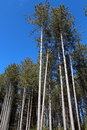Tall majestic pine trees standing under bright blue skies Stock Images