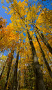 Tall Minnesota October Gold Under Blue Sky Stock Photography