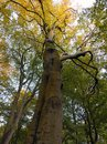 Tall old beech tree in autumn with leaves beginning to turn gold Royalty Free Stock Photo