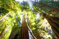 Tall old growth redwood trees in sunlight looking up into a grove of majestic bathed Royalty Free Stock Photos