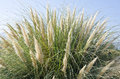Tall Ornamental Grass Against the Blue Sky Royalty Free Stock Photo