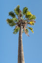 Tall palm tree with green leaves against blue sky Royalty Free Stock Photo