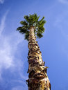 Tall palm tree very in springs california Stock Photography