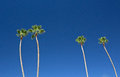 Tall Palm Trees In Bright Blue Sky