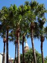 Tall palm trees palms in city park sydney australia Royalty Free Stock Photos