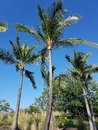 Tall Palm Trees Under a Clear Blue Sky Royalty Free Stock Photo