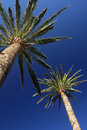 Tall palmtrees two with the blue sky in the background Stock Photo