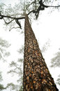 Tall Pine Tree Stock Photos