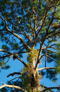 Tall pine tree branches looking up at a with many Royalty Free Stock Photography