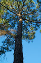 Tall pine tree looking up at a reaching up from the shade and into the sunshine Royalty Free Stock Image