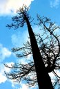 Tall Pine Tree Silhouette Royalty Free Stock Photography