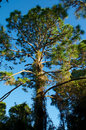 Tall pine tree in sunshine looking up at a reaching up from the shade and into the Stock Image